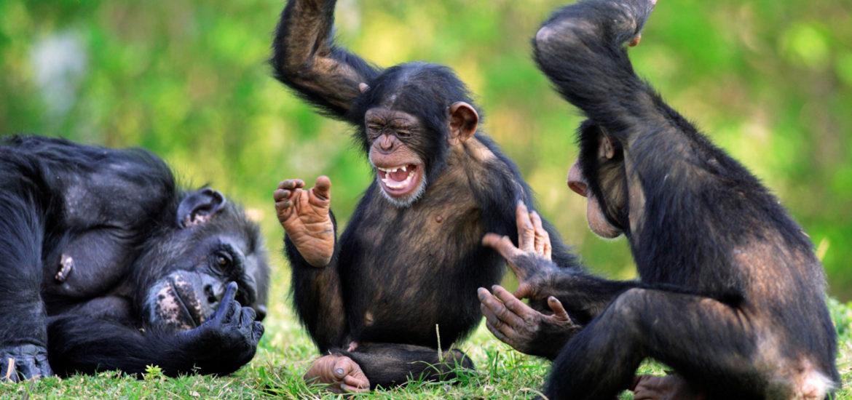 chimpanzes1